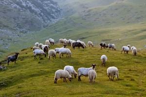 Открытка: Овечки на холме