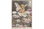 Открытка: Candytuft Fairy