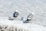 Открытка: Чайки на льду