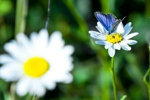 Открытка: Ромашки и бабочка