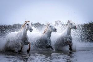 Открытка: Тройка лошадей в воде