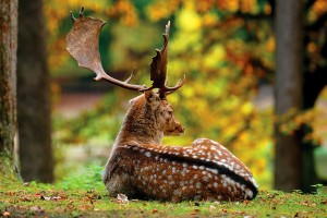 Открытка: Отдыхающий олень
