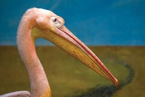 Открытка: Пеликан