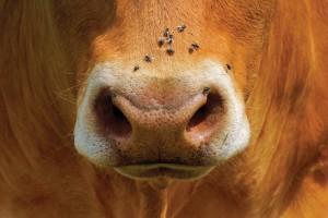 Открытка: Коровий нос