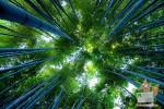 Открытка: Величественный бамбук
