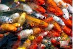 Открытка: Золотые рыбки
