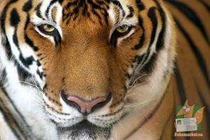 Открытка: Взгляд тигра