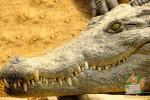 Открытка: Оскал крокодила