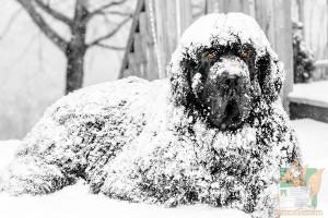 Открытка: Ньюфаундленд в снегу