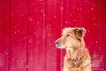 Открытка: Лабрадор на красном